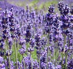Image Wild Lavender OK
